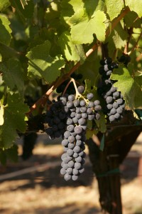 Wine grapes in Sonoma County