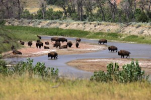 Theodore Roosevelt National Park - Badlands, South Unit - Bison at Little Missouri River