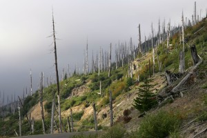 Dead trees on hillside along Forest Service Road 99 surrounding Mount St. Helens.  The trees died during the 1980 eruption of Mount St. Helens.