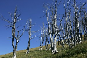 Yellowstone National Park - Dead trees at Mount Washburn